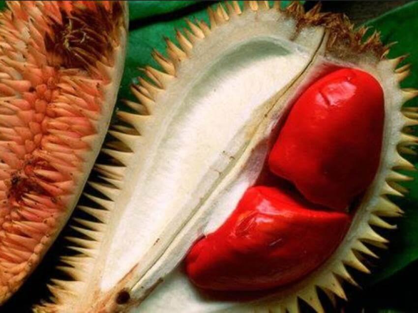 Jual Bibit Durian Merah Murah
